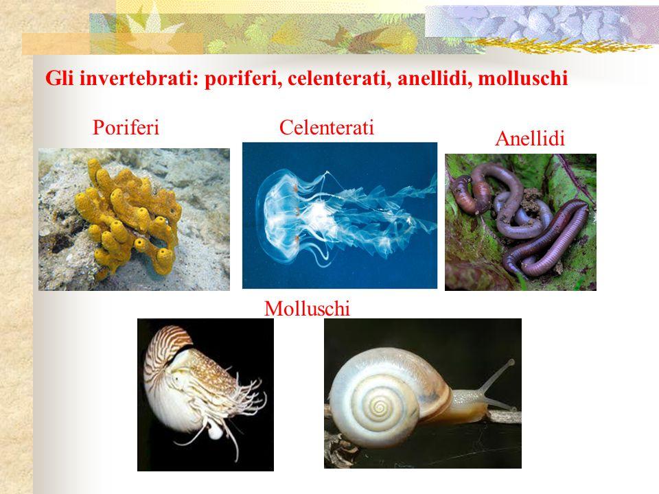 Gli invertebrati: poriferi, celenterati, anellidi, molluschi