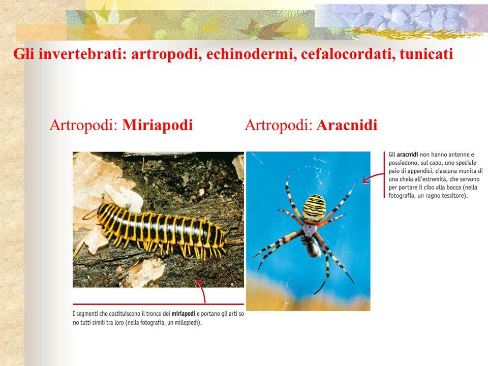 Gli invertebrati: artropodi, echinodermi, cefalocordati, tunicati