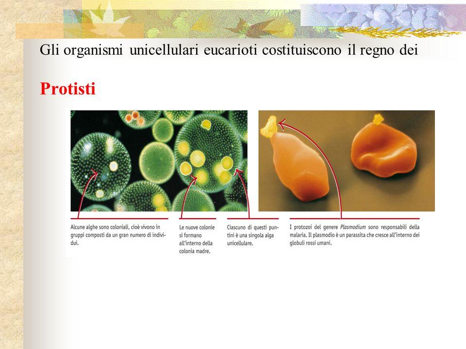 Gli organismi unicellulari eucarioti costituiscono il regno dei Protisti