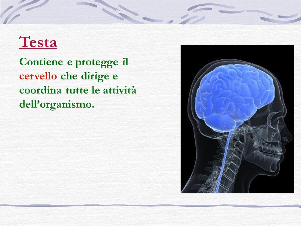 Testa Contiene e protegge il cervello che dirige e coordina tutte le attività dell'organismo.