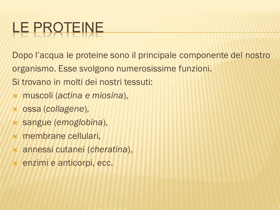 Le proteineDopo l'acqua le proteine sono il principale componente del nostro. organismo. Esse svolgono numerosissime funzioni.