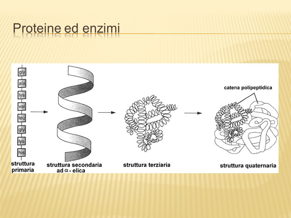 Proteine ed enzimi