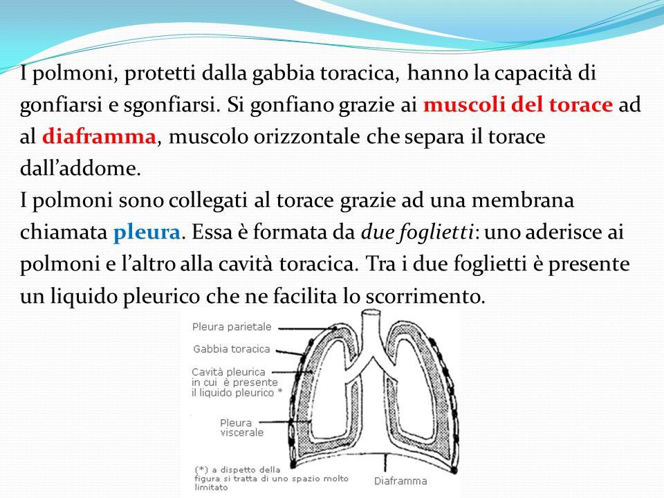 I polmoni, protetti dalla gabbia toracica, hanno la capacità di gonfiarsi e sgonfiarsi.