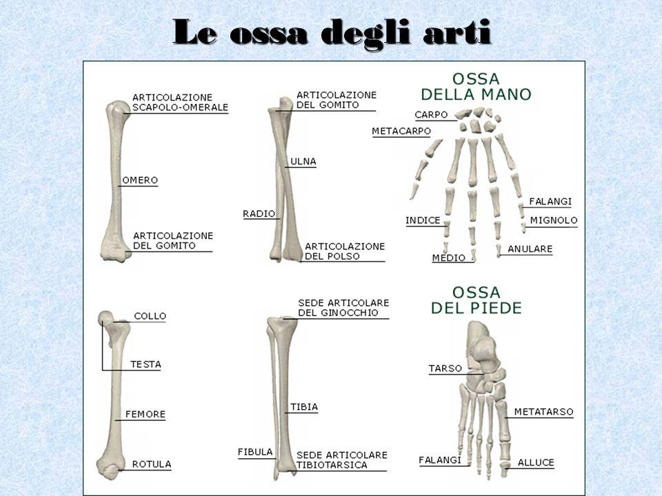 Le ossa degli arti