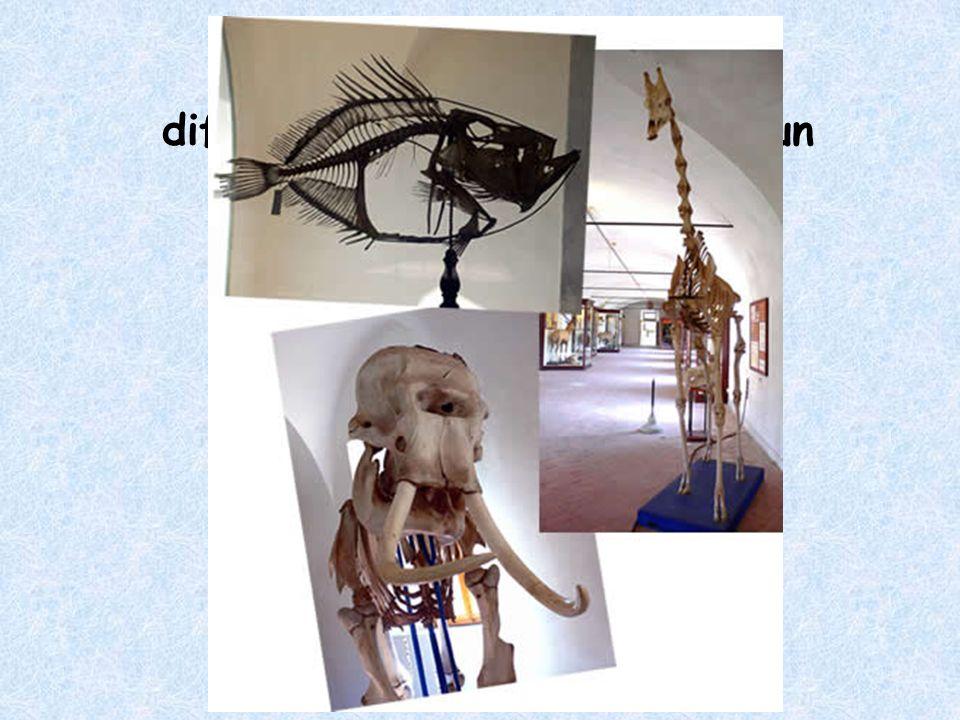 Al livello di scheletro, che differenza c'è fra un pesce, un elefante e una giraffa