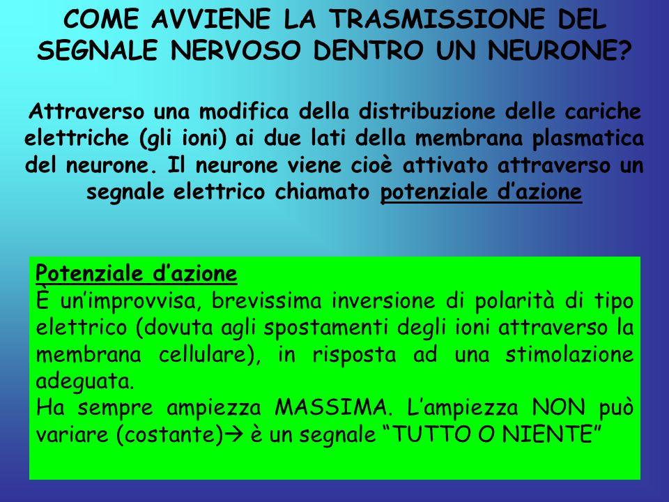 COME AVVIENE LA TRASMISSIONE DEL SEGNALE NERVOSO DENTRO UN NEURONE