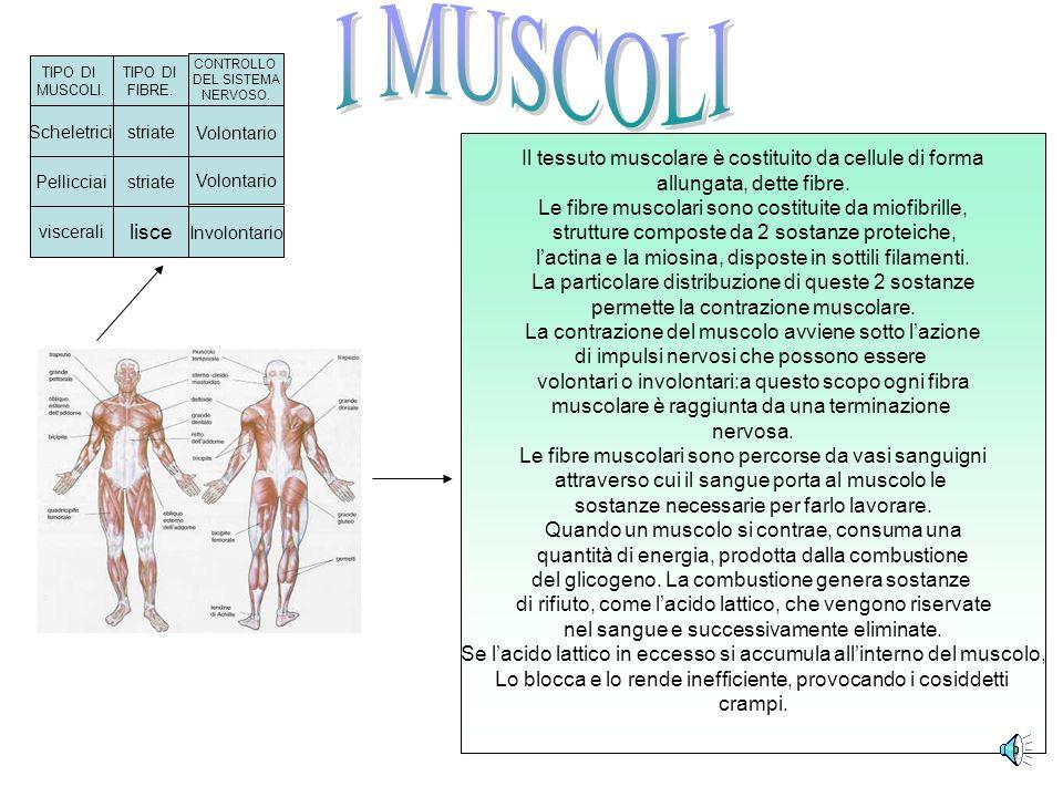 I MUSCOLI Il tessuto muscolare è costituito da cellule di forma