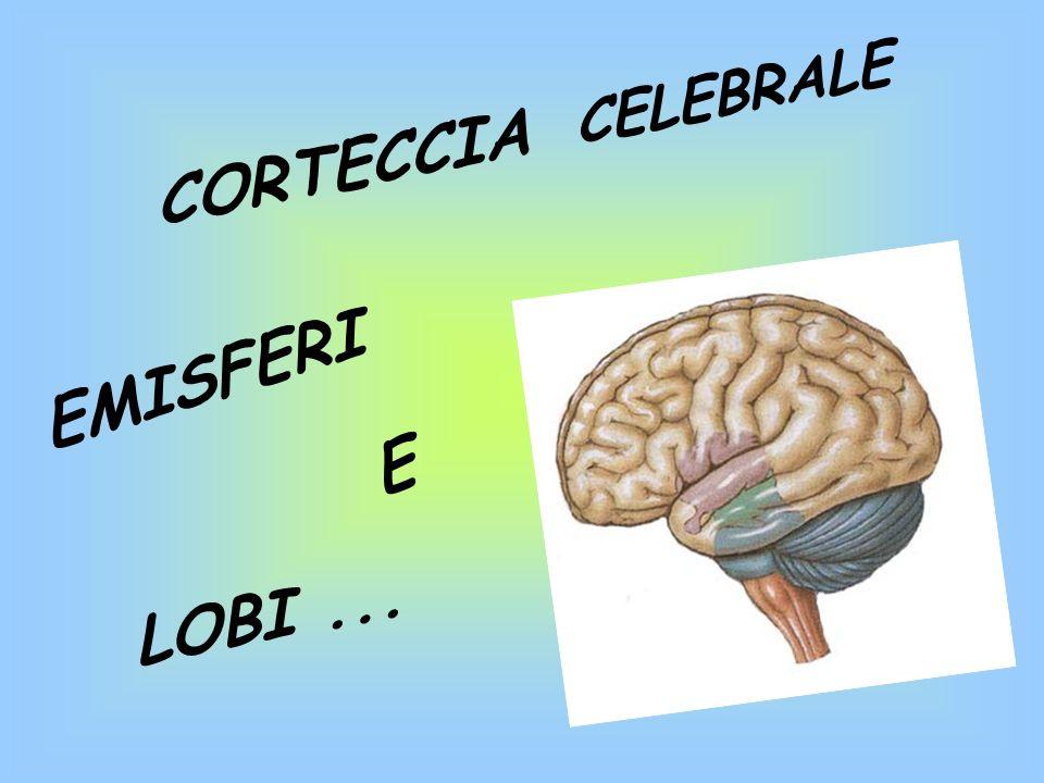 CORTECCIA CELEBRALE EMISFERI E LOBI ...