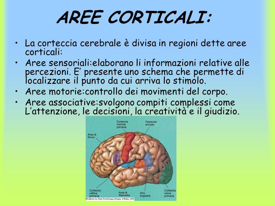 AREE CORTICALI: La corteccia cerebrale è divisa in regioni dette aree corticali: