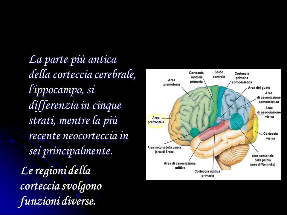 La parte più antica della corteccia cerebrale, l ippocampo, si differenzia in cinque strati, mentre la più recente neocorteccia in sei principalmente.