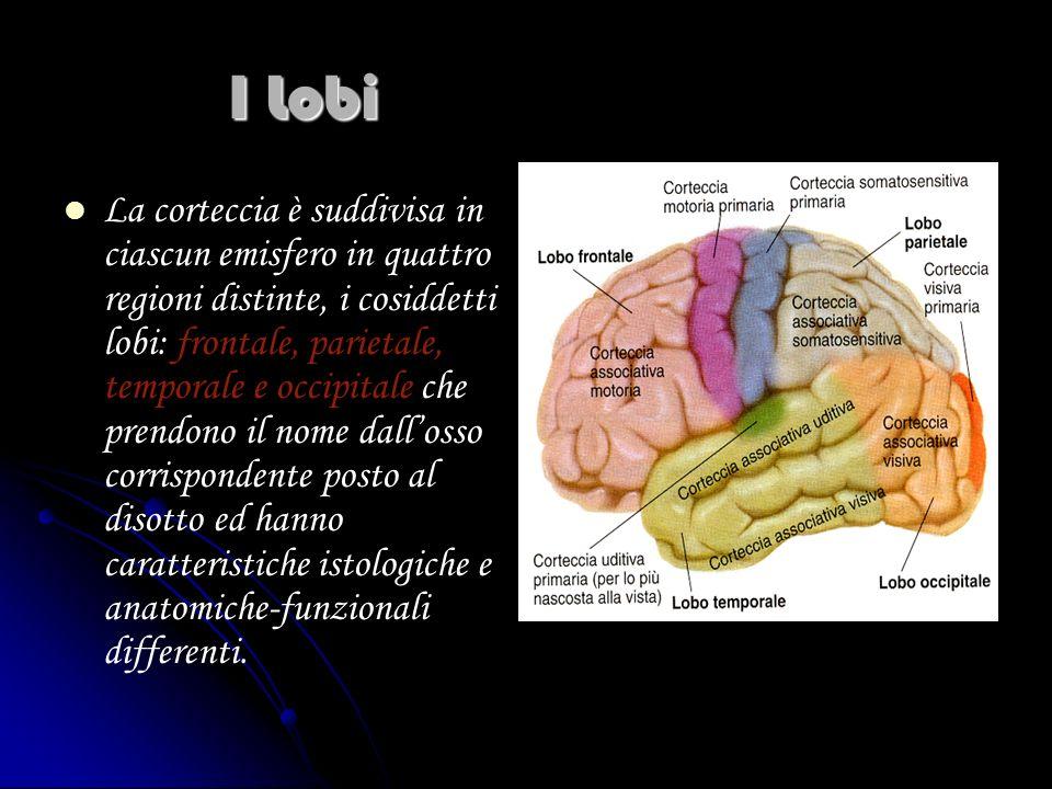 I Lobi