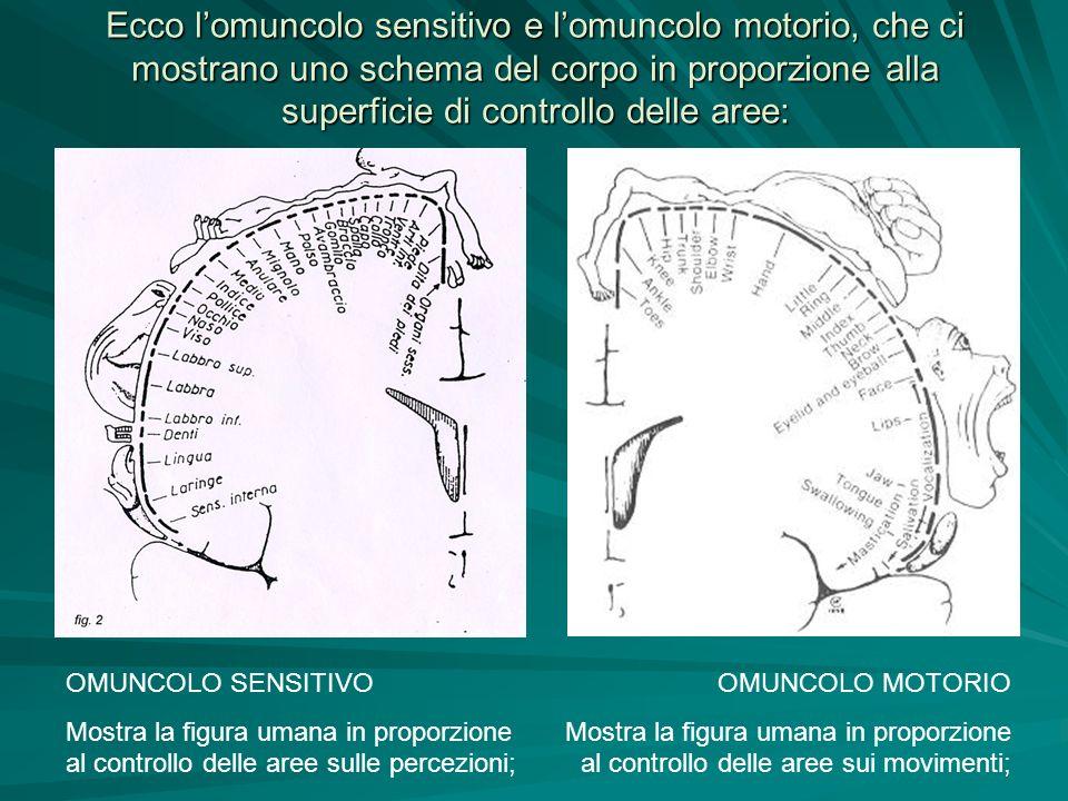 Ecco l'omuncolo sensitivo e l'omuncolo motorio, che ci mostrano uno schema del corpo in proporzione alla superficie di controllo delle aree: