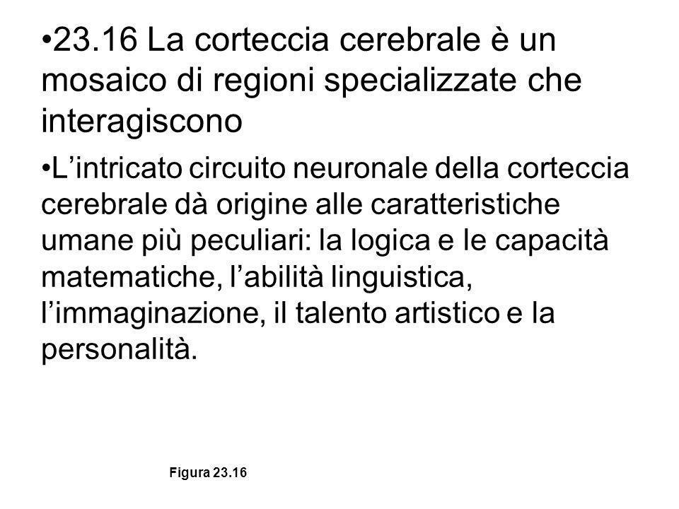 23.16 La corteccia cerebrale è un mosaico di regioni specializzate che interagiscono