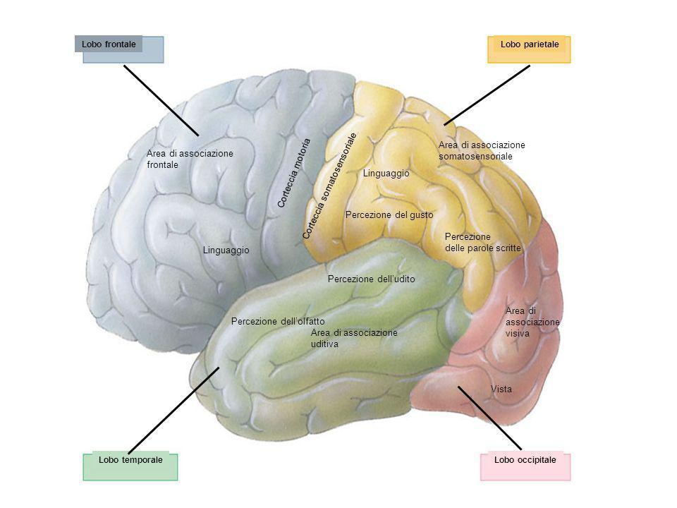 Corteccia somatosensoriale somatosensoriale