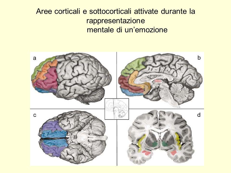 Aree corticali e sottocorticali attivate durante la rappresentazione