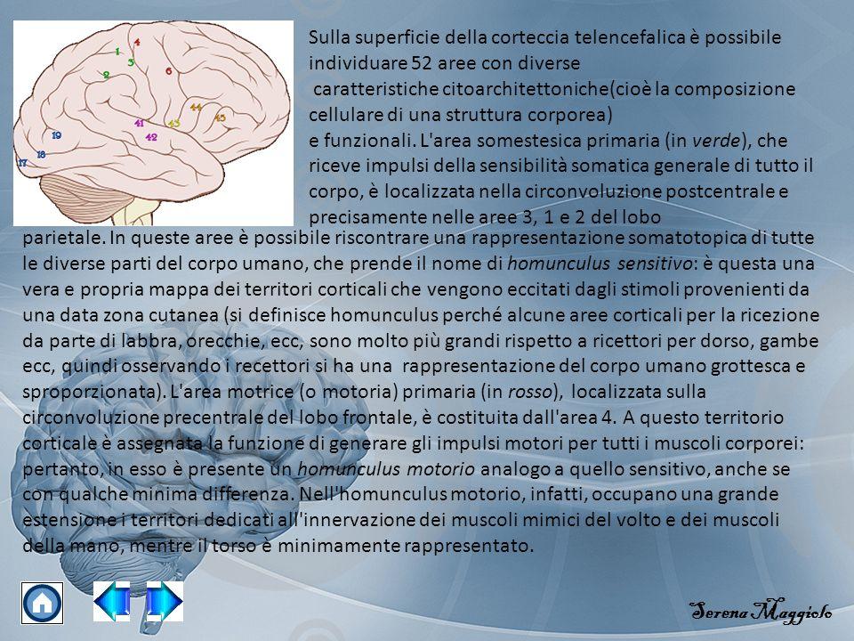 Sulla superficie della corteccia telencefalica è possibile individuare 52 aree con diverse