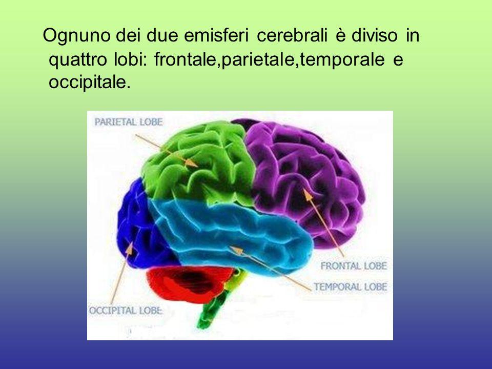 Ognuno dei due emisferi cerebrali è diviso in quattro lobi: frontale,parietale,temporale e occipitale.