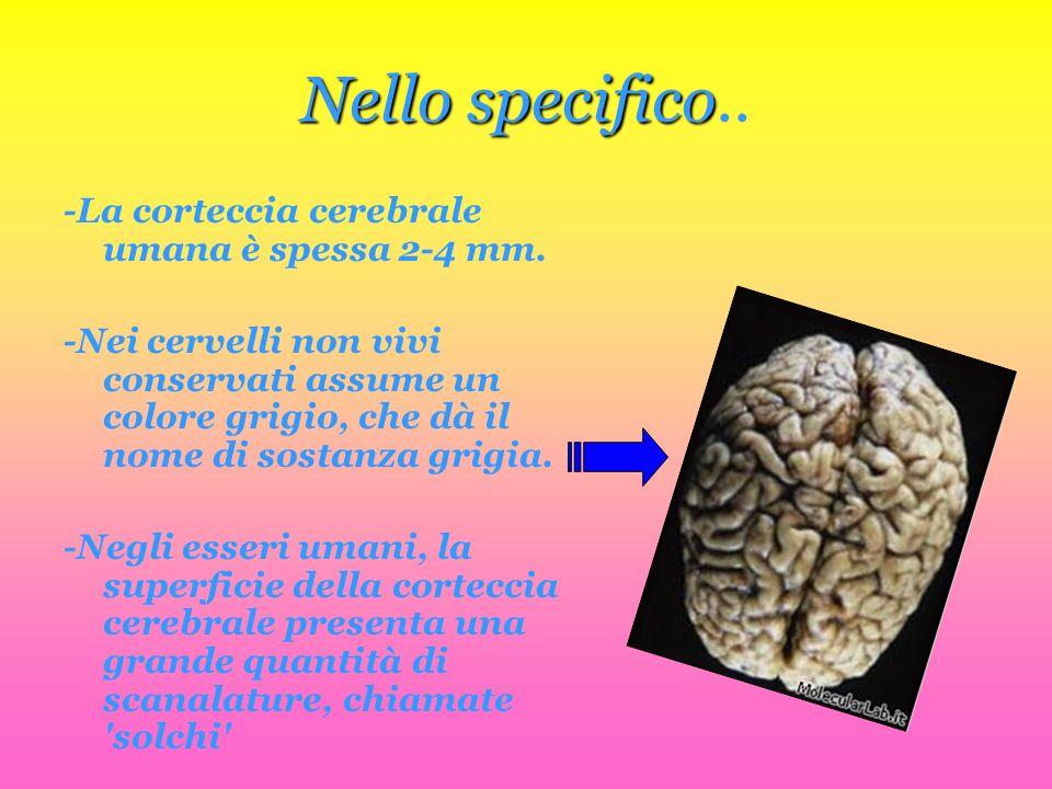 Nello specifico.. -La corteccia cerebrale umana è spessa 2-4 mm.