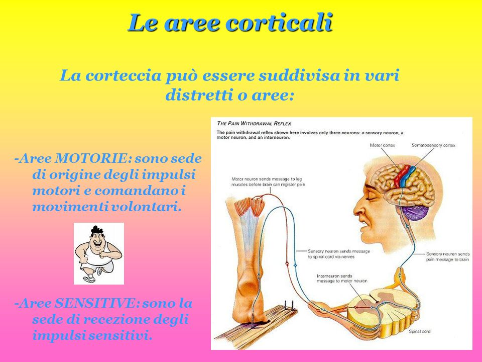 Le aree corticali La corteccia può essere suddivisa in vari distretti o aree: