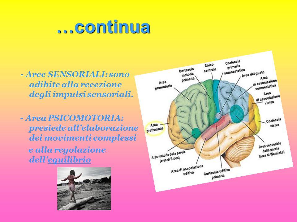 …continua - Aree SENSORIALI: sono adibite alla recezione degli impulsi sensoriali.