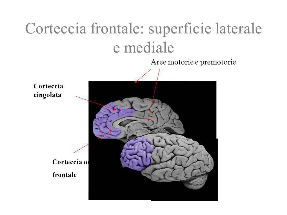 Corteccia frontale: superficie laterale e mediale