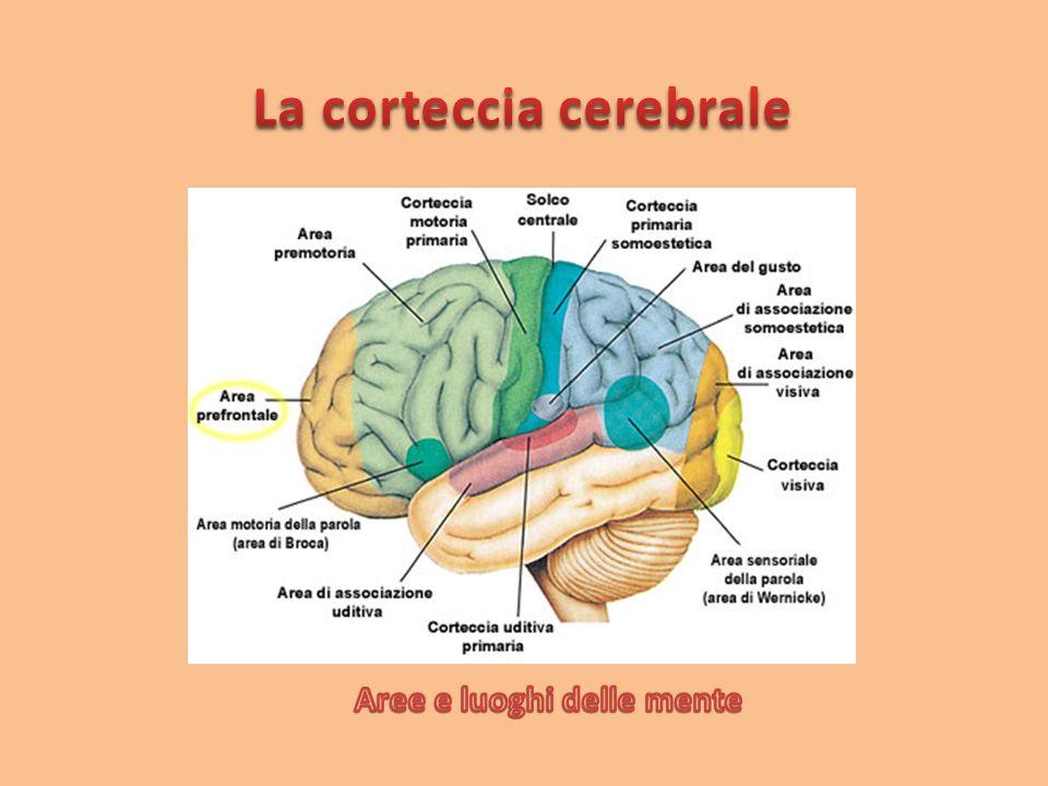 La corteccia cerebrale Aree e luoghi delle mente