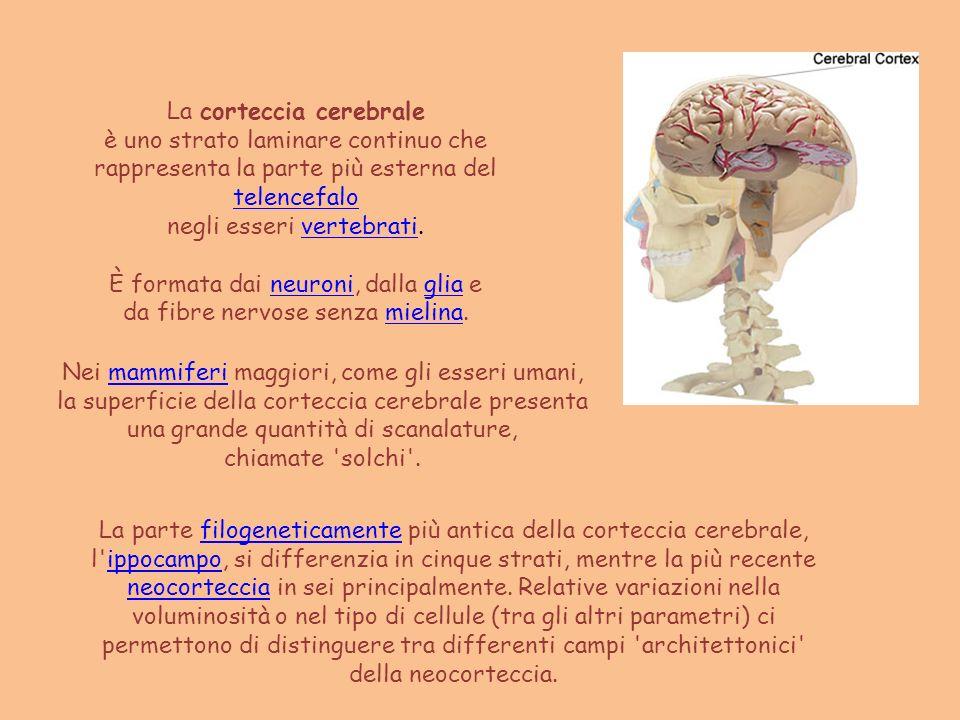 La corteccia cerebrale è uno strato laminare continuo che
