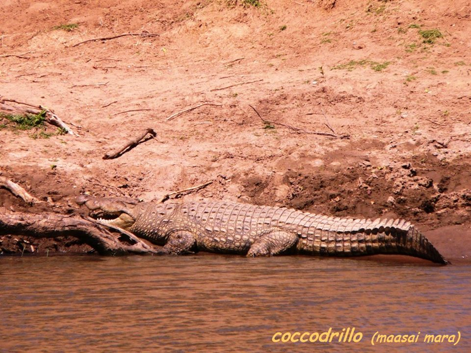 coccodrillo (maasai mara)