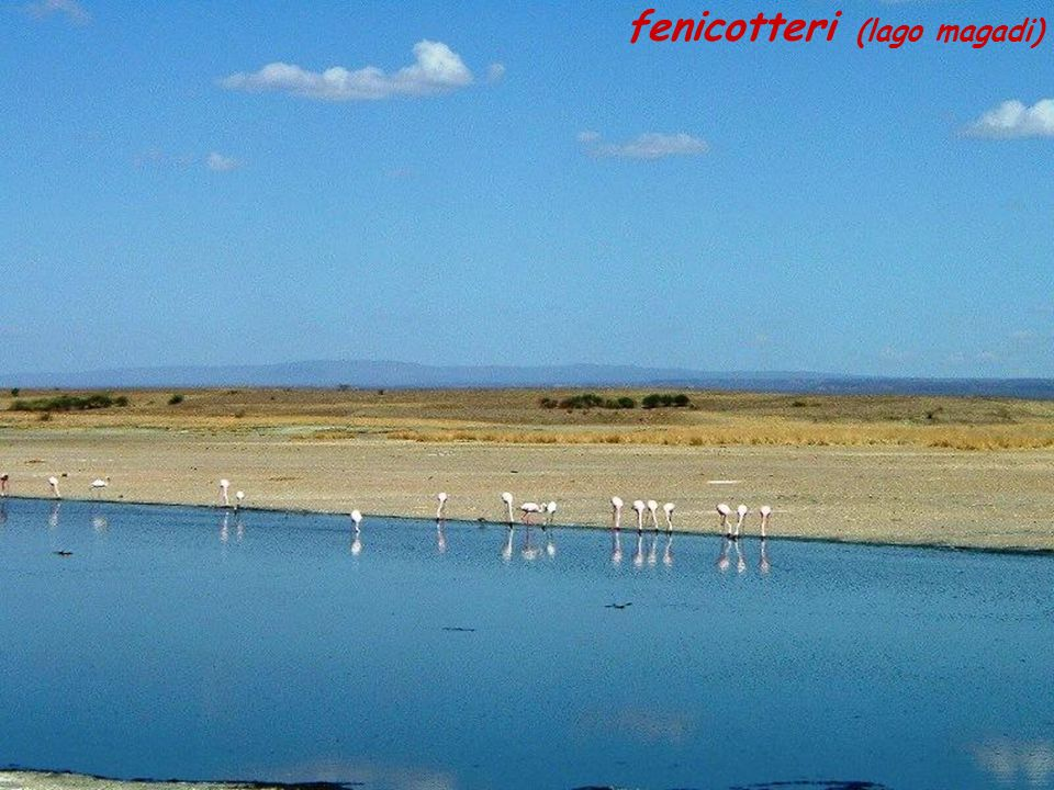 fenicotteri (lago magadi)