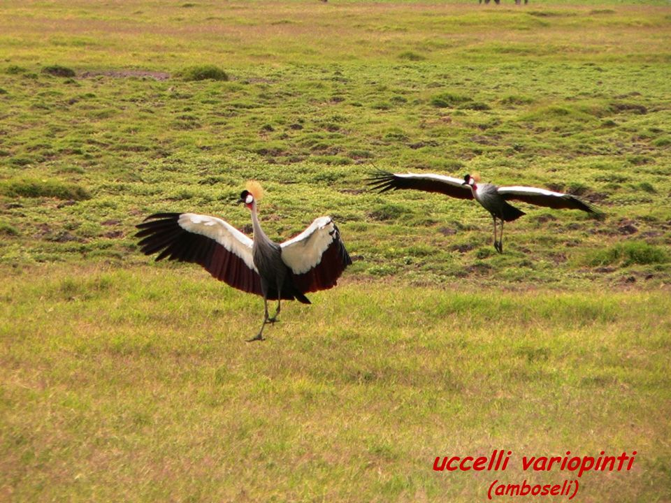 uccelli variopinti (amboseli)