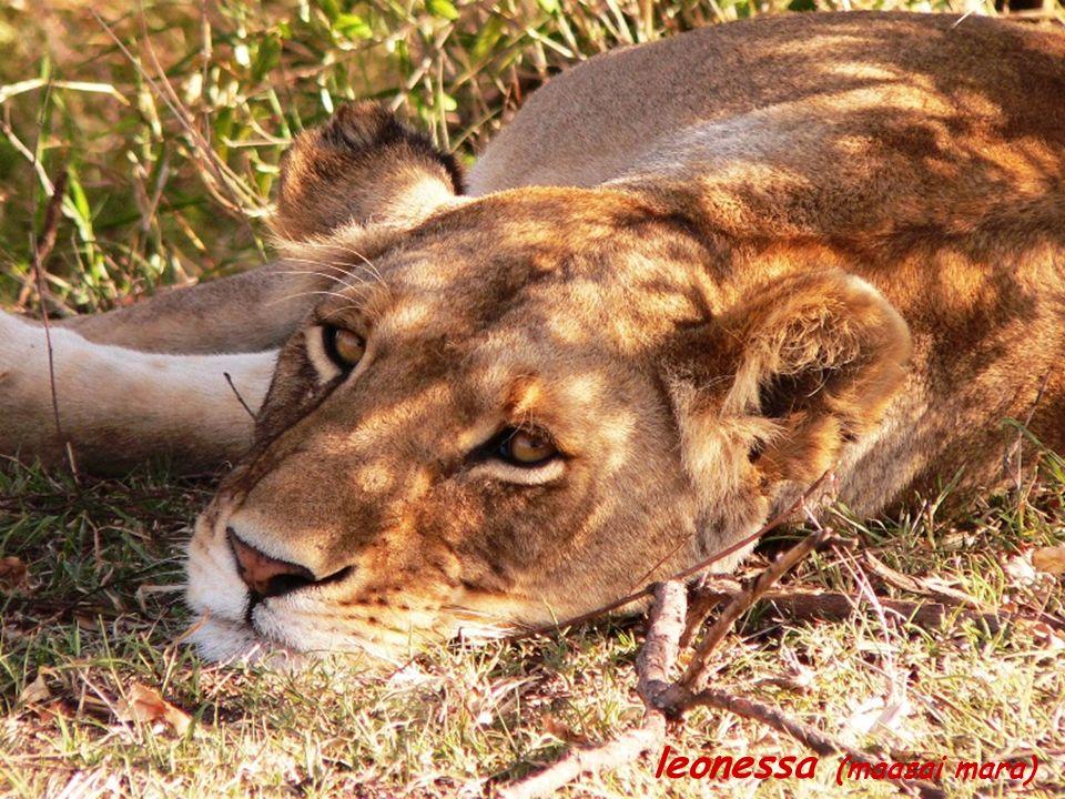 leonessa (maasai mara)
