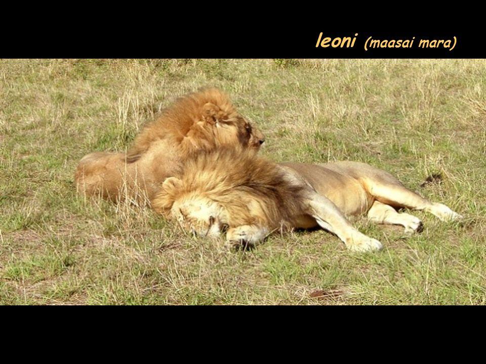 leoni (maasai mara)