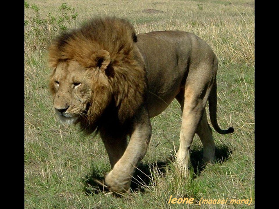 leone (maasai mara)
