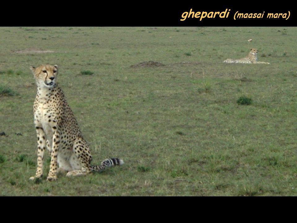 ghepardi (maasai mara)