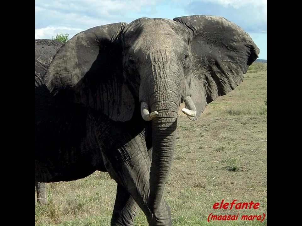 elefante (maasai mara)