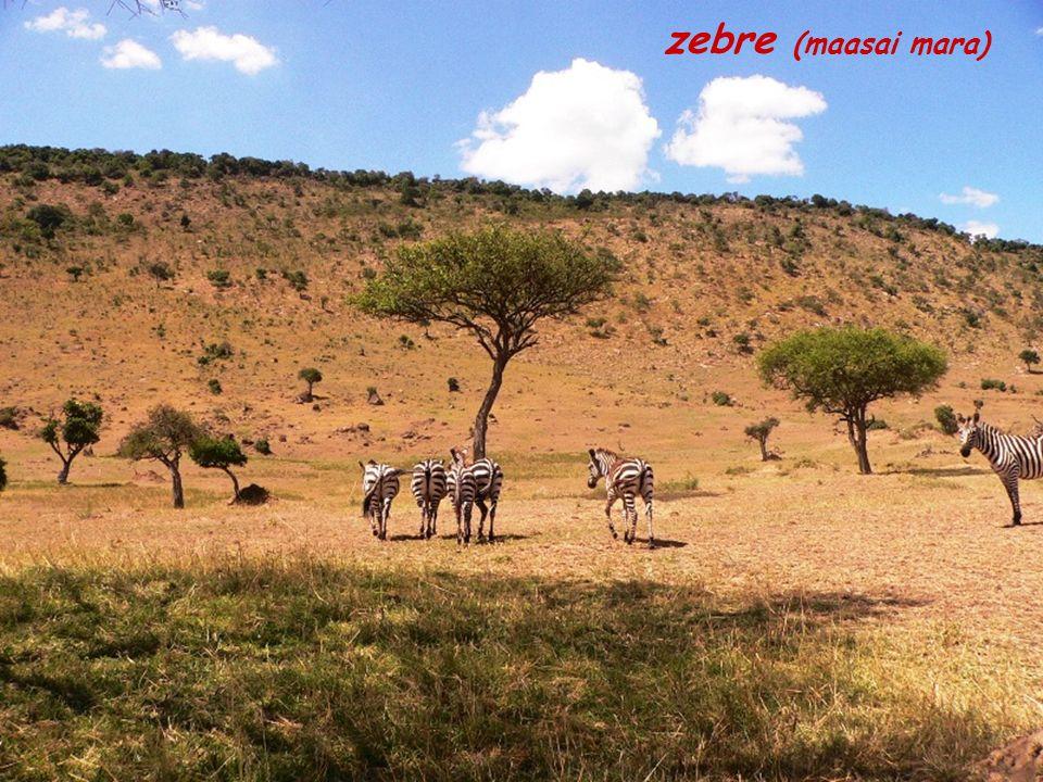 zebre (maasai mara)