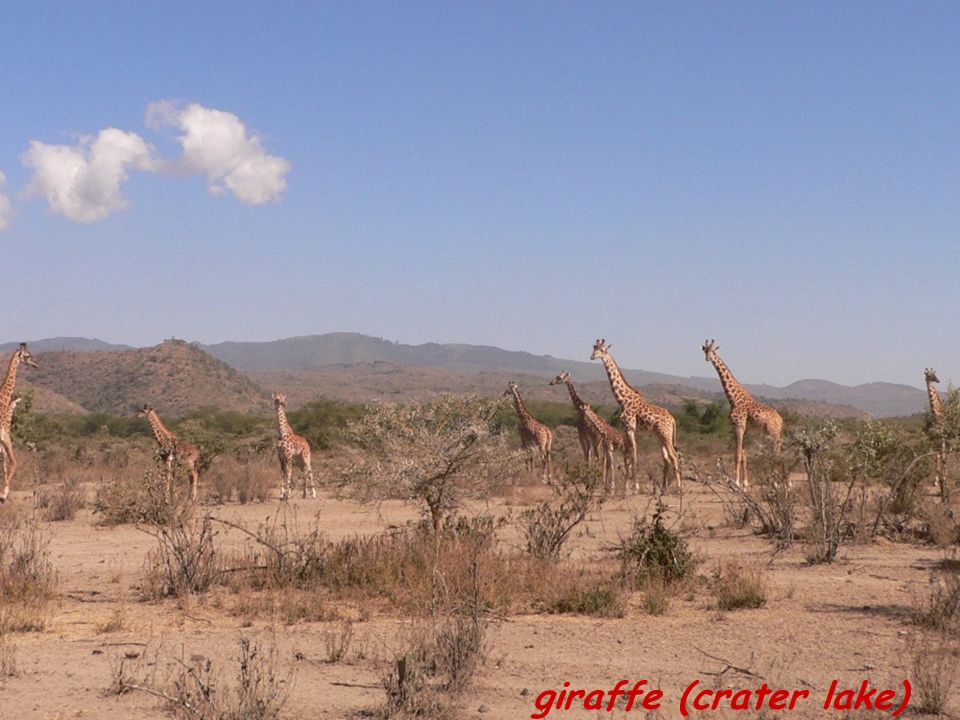 giraffe (crater lake)