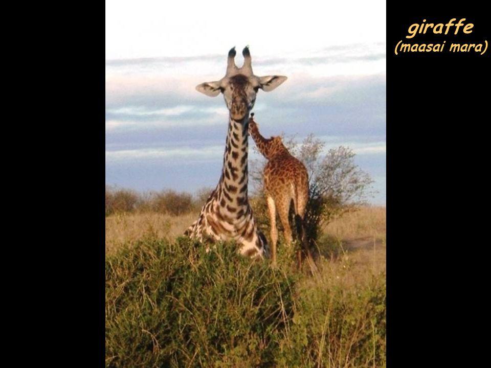 giraffe (maasai mara)