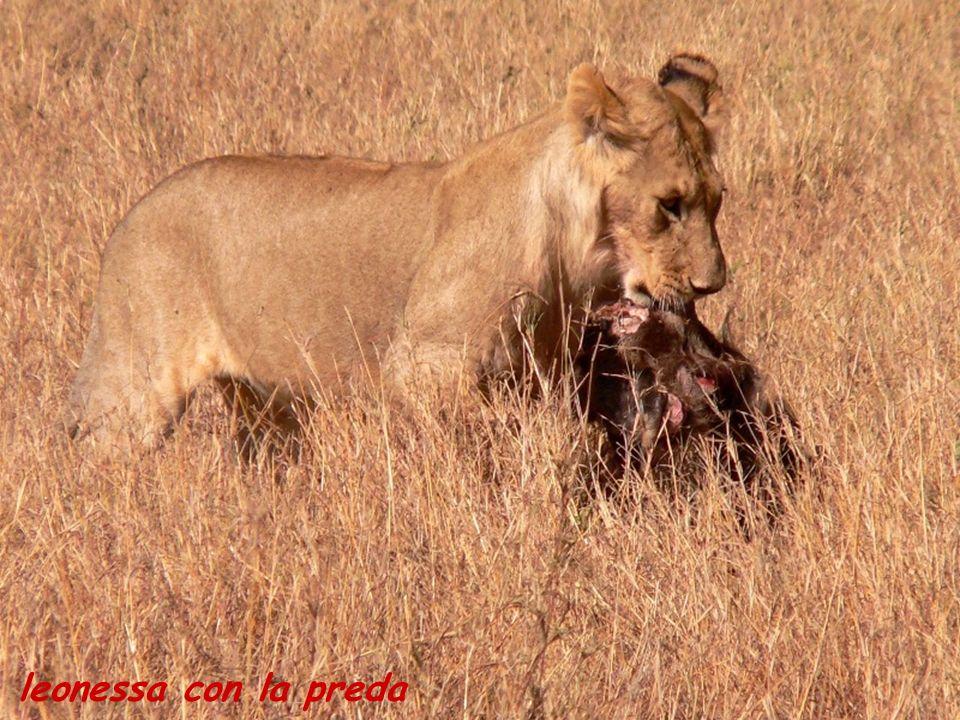 leonessa con la preda