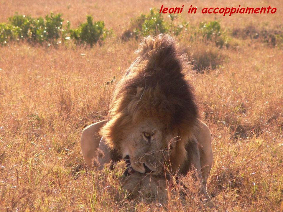 leoni in accoppiamento