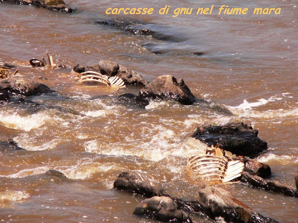 carcasse di gnu nel fiume mara