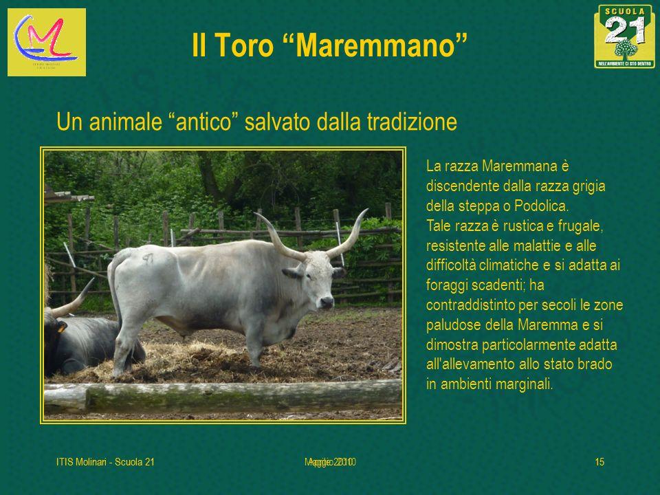 Il Toro Maremmano Un animale antico salvato dalla tradizione