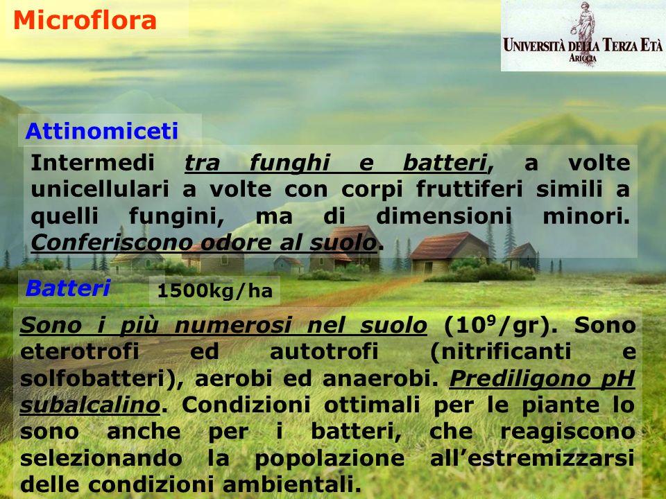 Microflora Attinomiceti