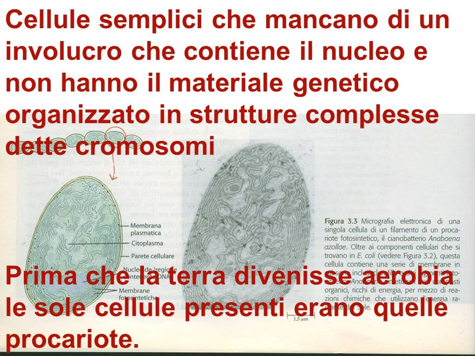 Cellule semplici che mancano di un involucro che contiene il nucleo e non hanno il materiale genetico organizzato in strutture complesse dette cromosomi
