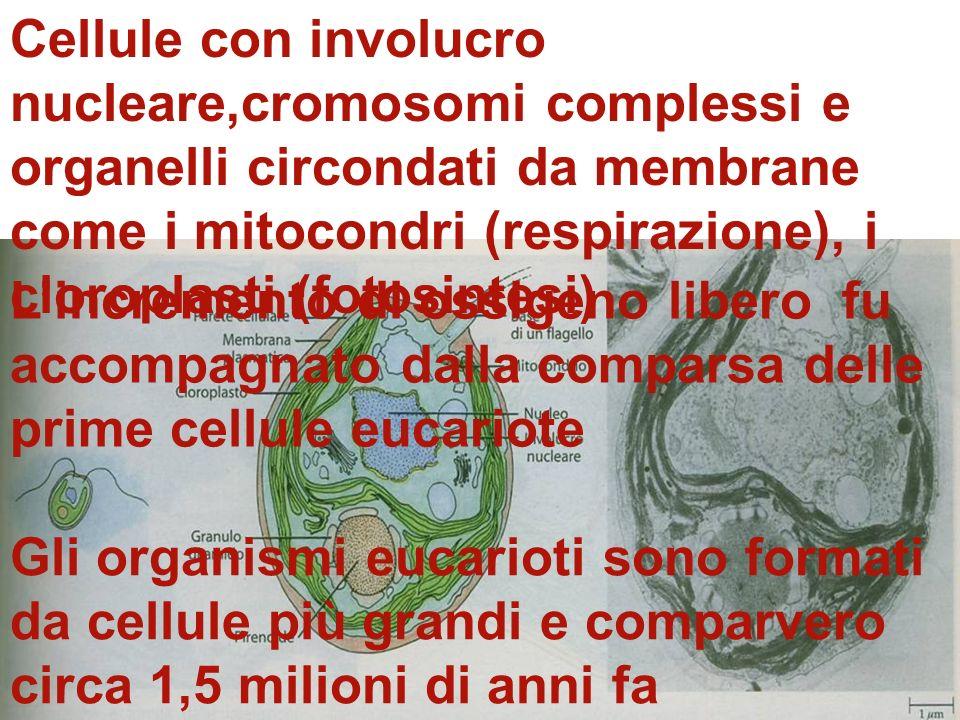 Cellule con involucro nucleare,cromosomi complessi e organelli circondati da membrane come i mitocondri (respirazione), i cloroplasti (fotosintesi)