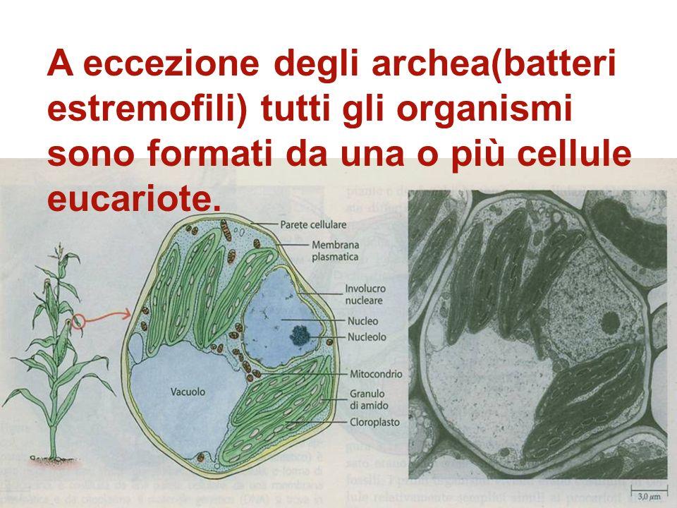A eccezione degli archea(batteri estremofili) tutti gli organismi sono formati da una o più cellule eucariote.