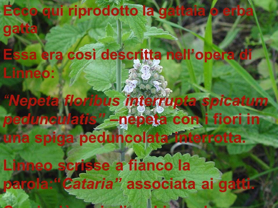 Linneo scrisse a fianco la parola: Cataria associata ai gatti.