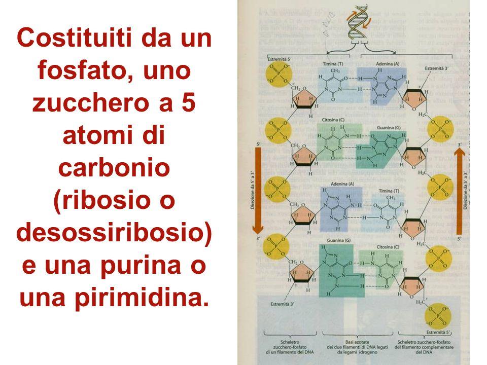 Costituiti da un fosfato, uno zucchero a 5 atomi di carbonio (ribosio o desossiribosio) e una purina o una pirimidina.
