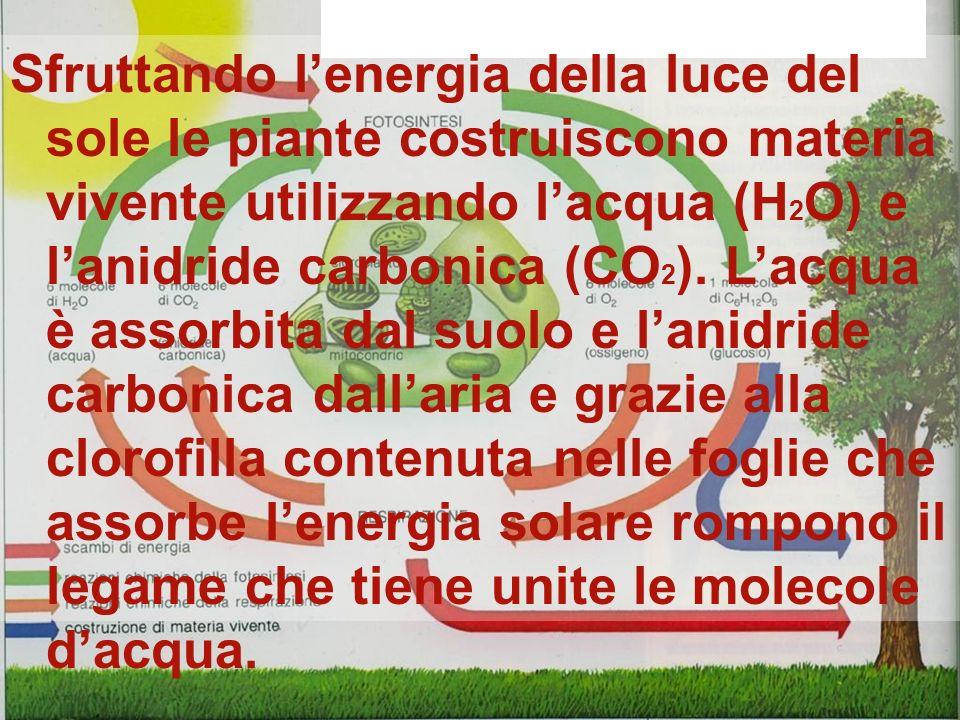 Sfruttando l'energia della luce del sole le piante costruiscono materia vivente utilizzando l'acqua (H2O) e l'anidride carbonica (CO2). L'acqua è assorbita dal suolo e l'anidride carbonica dall'aria e grazie alla clorofilla contenuta nelle foglie che assorbe l'energia solare rompono il legame che tiene unite le molecole d'acqua.