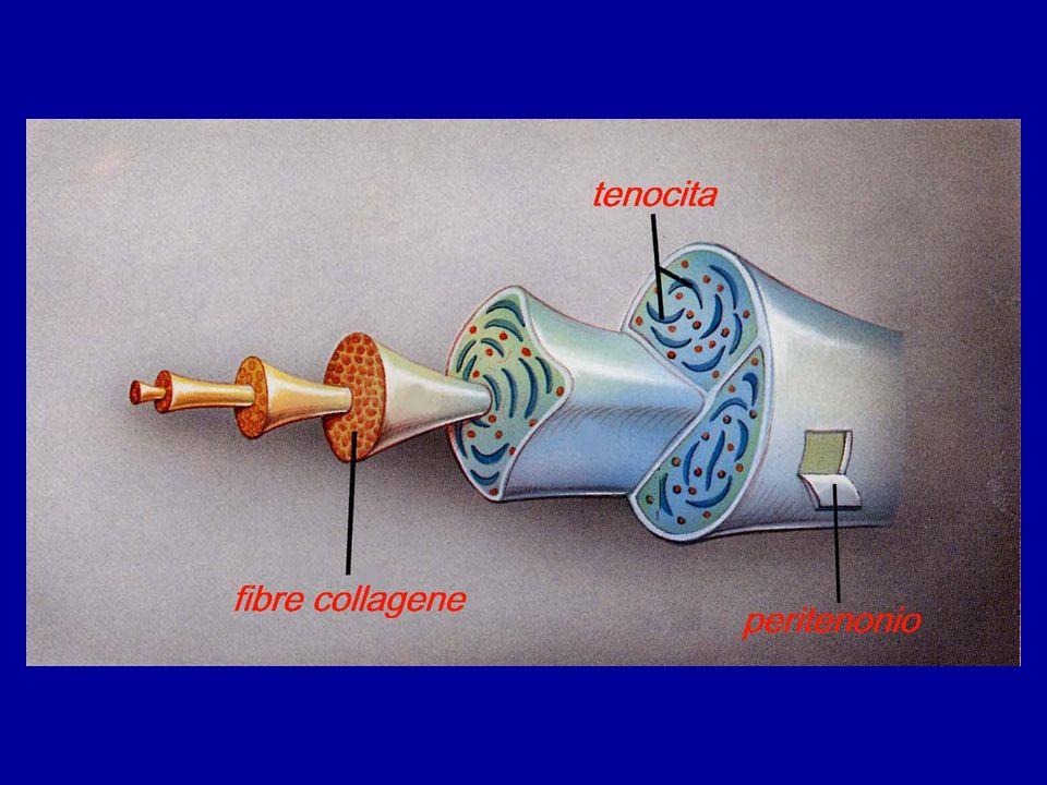 I tendini son strutture molto robuste dovuto alla loro particolare struttura